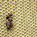 Tracking honey bees with big data - NPR