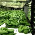 See inside a Local Roots lettuce vertical farm - Business Insider