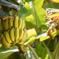 Peeling Back the History of the Banana